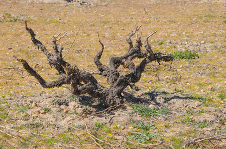 viticulture: Viticulture. Dry vine in Morales de Toro, Zamora, Spain