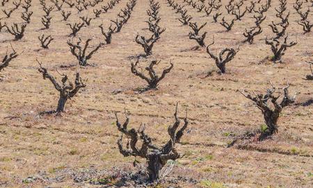 Pruned vines in the field. viticulture. viniculture
