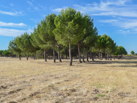reforestation: Pines plantation in a harvested ground. Environment, agriculture and reforestation
