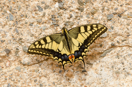 papilionidae: Butterfly. Papilio machaon on a wall. Old world swallowtail butterfly