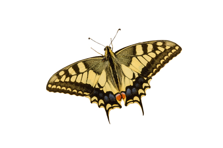 papilionidae: Butterfly. Papilio machaon isolated over white. Old world swallowtail butterfly