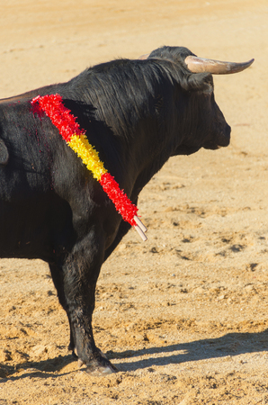 bullfight: A bull standing in the bullfight with two nailed banderillas Stock Photo