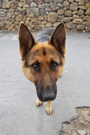 german: Portrait of cute shepherd dog looking at camera while standing outdoor. Stone wall on background
