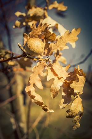 gall: Dried leaves of oak tree and its gall in close-up. Vignette. Stock Photo