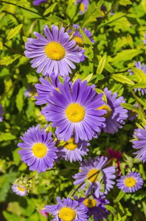 aster flowers: Close-up of beautiful tansy aster flowers in sunlight