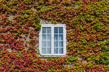 thick growth: Detail on a white window on a wall covered by ivy with green, brown and red leaves.