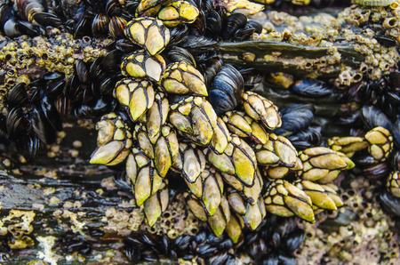 Goose barnacles and mussels attached at rocks in galician coast. goose neck barnacles are known in spain as percebes and are much apreciated as seafood Фото со стока
