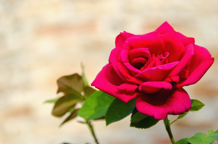 A fresh red rose in a garden. Rose perfume, rose water, rose essential oil