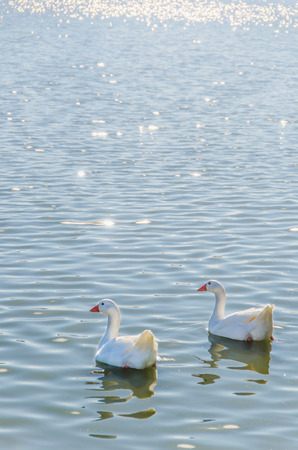 genera: Geese swimming together in a pond. Gander, waterfowl, poultry, domestic avian