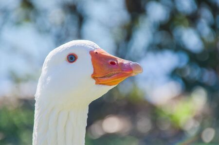 genera: Detailed view of a geese head. Goose, poultry, gander, chen. Domestic animal