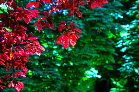 plum island: backlited red leaves in a red-leaved plum tree in spring. Island garden, Aranjuez, Madrid, Spain. Abstract and seasonal background