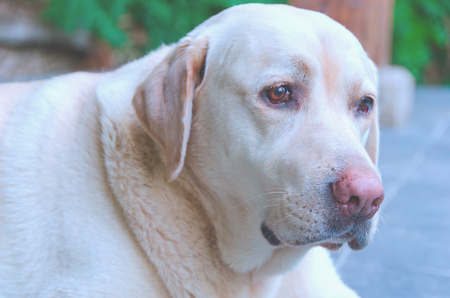Labrador retriever detailed face. Labradors are frequently trained to aid blind persons Stock Photo