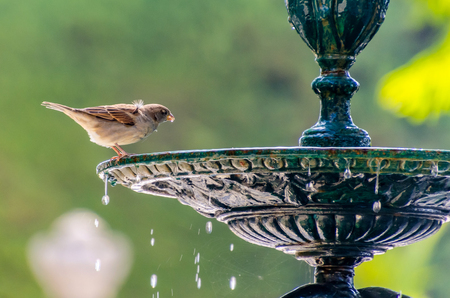 little sparrow drinking water in a fountain. bird, ornithology