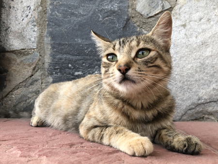 Tabby cat lying down in the ground and looking wit green eyes