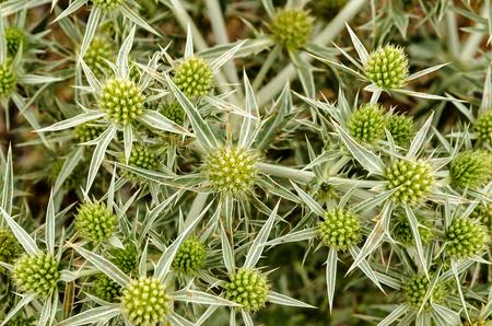 field eryngo or eryngium campestre. Cardo corredor. Plant member of the Apiaceae family