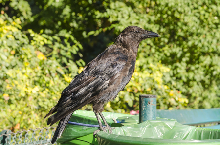 Black crow standing on a bin in the park Imagens - 117713280