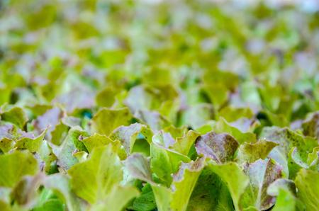 lettuce seedlings. Little plants of lettuce ready to grow Imagens - 117713330