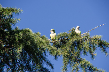 Monk parakeet also known as quaker parrot on a park tree. Cotorras argentinas. Myiopsitta monachus Imagens - 117713209