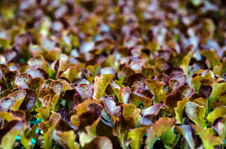 red lettuce seedlings. Little plants of lettuce ready to grow Imagens - 117713211
