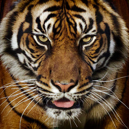 A tiger close-up frotal view portrait.