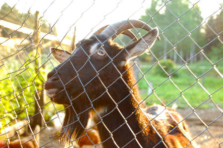 Portrait of a goat behind bars Banque d'images - 115068320