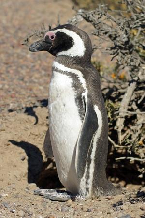 pinguinera: Ping�ino de Magallanes colonia de Punta Tombo, una de las m�s grandes del mundo, Patagonia, Argentina Foto de archivo