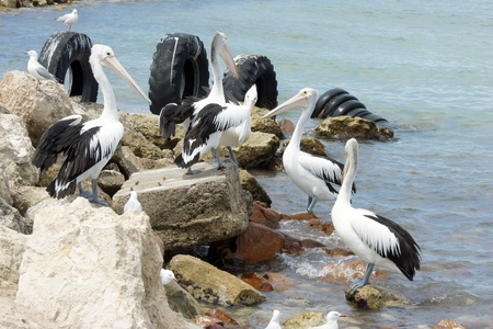Australian Pelican, Emu Bay, Kangaroo Island, South Australia photo