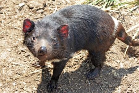 tasmanian: Tasmanian Devil, Freycinet National Park, Tasmania, Australia Stock Photo
