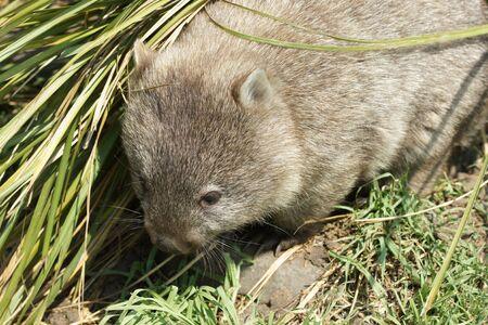 wombat: Wombat, el Parque Nacional de Freycinet, Tasmania, Australia Foto de archivo