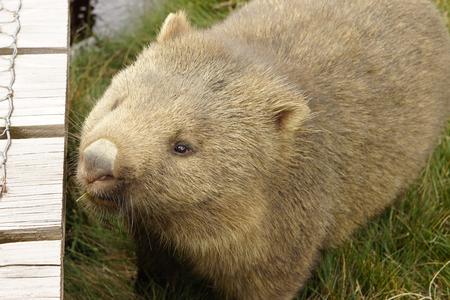 wombat: Wombat, Parque Nacional Cradle Mountain, Tasmania, Australia