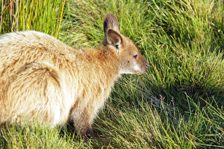 bennett: Bennett Wallaby, Cradle Mountain National Park, Tasmania, Australia Stock Photo