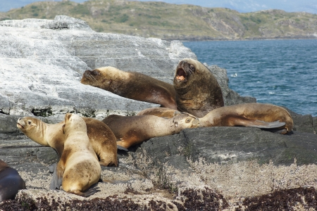 patagonian: Colony of Patagonian Sea Lions, Beagle Channel, Patagonia, Argentina, South America