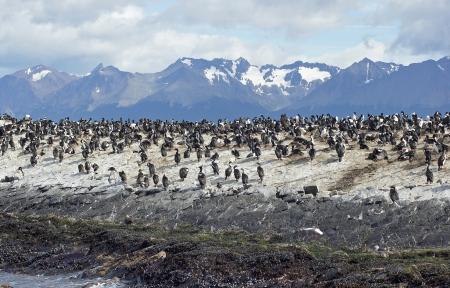 Colony of King Cormorants, Beagle Channel, Argentina Stock Photo