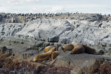 king cormorant: Patagonian Sea Lions and King Cormorants, Beagle Channel, Patagonia, Argentina, South America