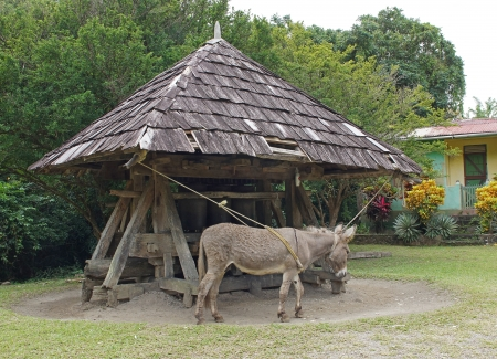 saint lucia: Donkey working on a historic cane mill, Saint Lucia, Caribbean