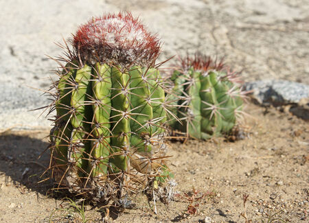 aruba: Cactus, Aruba, ABC Islands Stock Photo