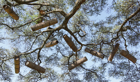 rift: Acacia with beehives, Great Rift Valley, Ethiopia, Africa Stock Photo
