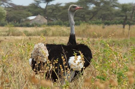 somali: Hombre de Somalia avestruz, Etiop�a, �frica