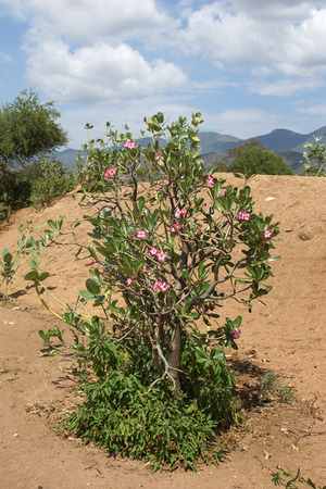 sabi star: Desert-rose in the south of Ethiopia, Africa Stock Photo