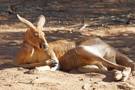 the outback: Red Kangaroo, Northern Territory, Outback of Australia Stock Photo
