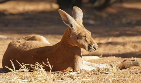 Red Kangaroo, Northern Territory, Outback of Australia Stock Photo