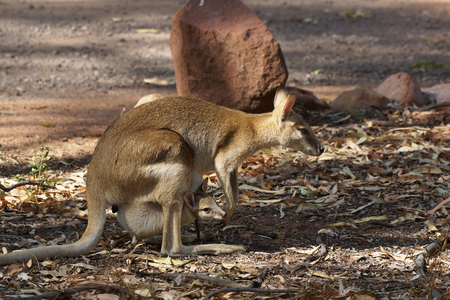 joey: Wallaby with a joey in its pouch, Nitmiluk National Park, Australia Stock Photo