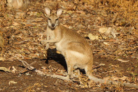 katherine: Wallaby, Nitmiluk National Park, Australia