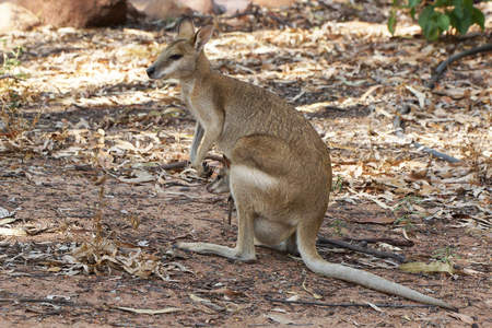 wallaby: Wallaby with a joey in its pouch, Nitmiluk National Park, Australia Stock Photo
