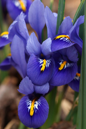 iris reticulata: Dwarf beardless iris, flowers of the spring