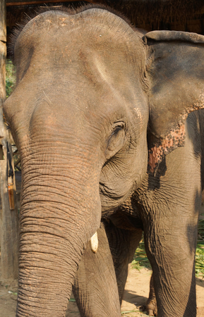 south east: Working elephant, Laos, South East Asia Stock Photo