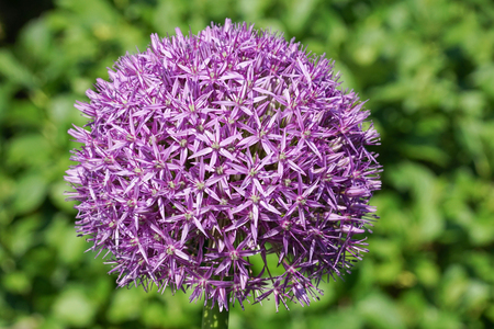 allium: Allium Globemaster, flowers of the spring