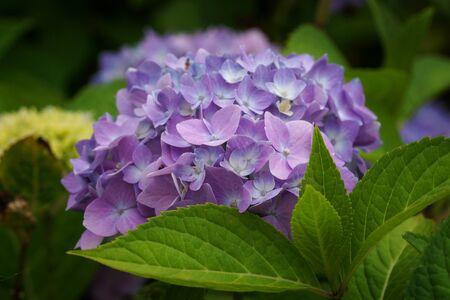 Violet Penny mac - Hydrangea macrophylla