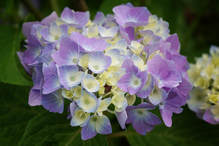 Penny mac, Hydrangea macrophylla Stock Photo