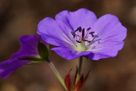 Ashy Cranesbill (Geranium cinereum), flowers of summer